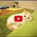 Bun Bun, il gatto che abbaia come un cane (Video)