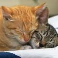 """Genova: gatto """"innamorato"""" attraversa la città per trovare la sua micia dal veterinario"""