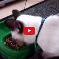 Gatto risponde all'umano mentre mangia.