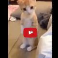 Gatto si alza in piedi per far pulire il divano.